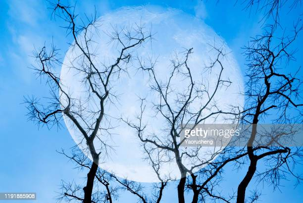 full moon between branches with blue sky in background - harvest moon stock pictures, royalty-free photos & images