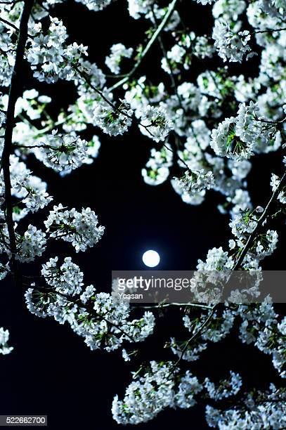 Full moon through cherry blossoms