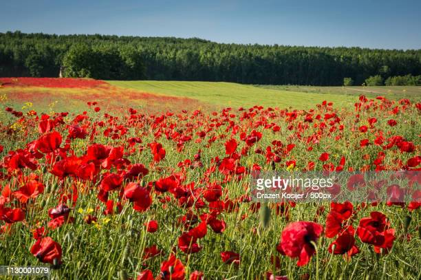 full of poppies - drazen stock pictures, royalty-free photos & images