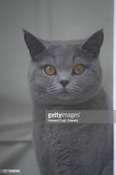 full pedigree russian blue cat - howard pugh stock pictures, royalty-free photos & images