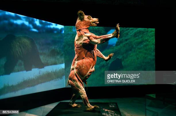 A full plastinated body of a bear is on display at the 'Casino de la Exposicion' cultural center in Seville on November 30 on the eve of the opening...