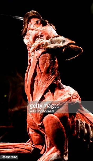 A full plastinated body of a dog catching a frisbee is on display at the 'Casino de la Exposicion' cultural center in Seville on November 30 on the...