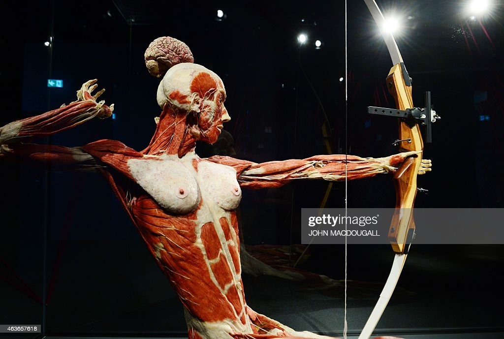 a full plastinated body of a female person training archery is on