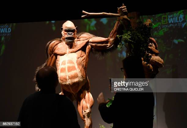 A full plastinated body of a gorilla is on display at the 'Casino de la Exposicion' cultural center in Seville on November 30 on the eve of the...
