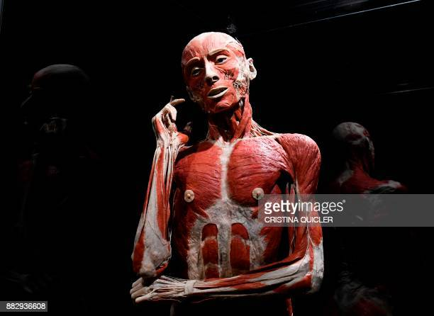 A full plastinated body of a person is on display at the 'Casino de la Exposicion' cultural center in Seville on November 30 on the eve of the...