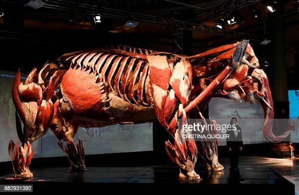 A full plastinated body of an elephant is on display at the 'Casino de la Exposicion' cultural center in Seville on November 30 on the eve of the...