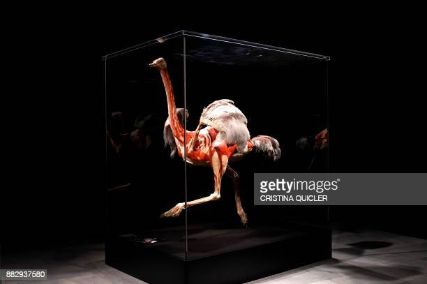 A full plastinated body of an ostrich is on display at the 'Casino de la Exposicion' cultural center in Seville on November 30 on the eve of the...