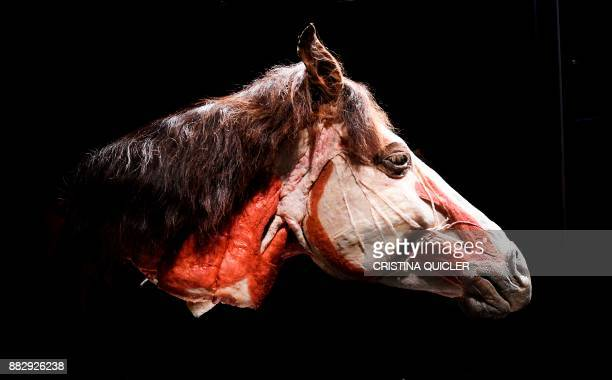 A full plastinated head of a horse is on display at the 'Casino de la Exposicion' cultural center in Seville on November 30 on the eve of the opening...