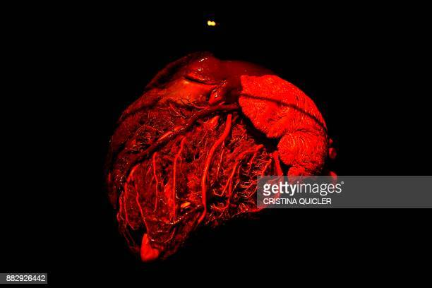 A full plastinated heart of a bull is on display at the 'Casino de la Exposicion' cultural center in Seville on November 30 on the eve of the opening...