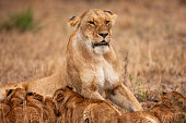 lioness is lying looking around full