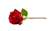 A full, single red rose on a white background