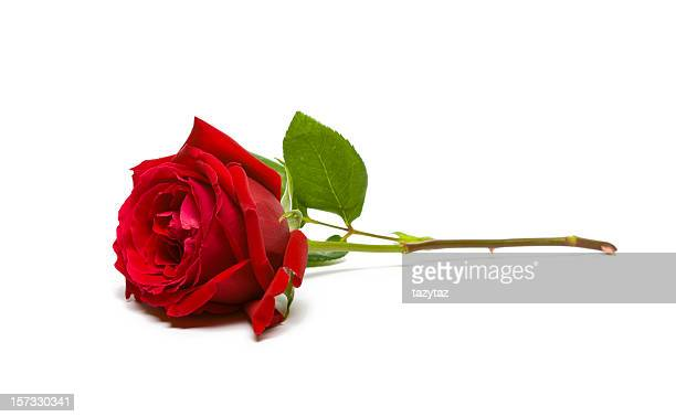 a full, single red rose on a white background - red roses stock pictures, royalty-free photos & images
