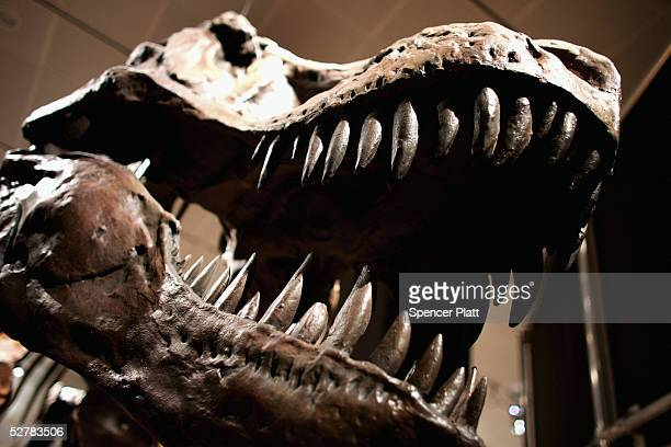 A full size cast skeleton of a Tyrannosaurus rex is displayed at the new exhibit Dinosaurs Ancient Fossils New Discoveries at the American Museum of...