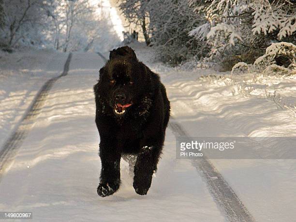 full steam ahead - newfoundland dog stock photos and pictures