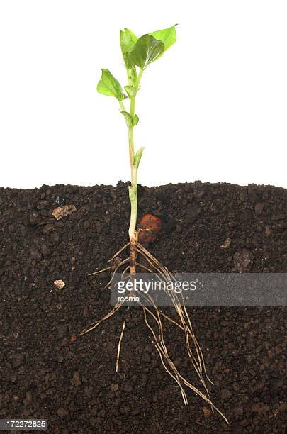 A full view of a seedling including the roots in the soil