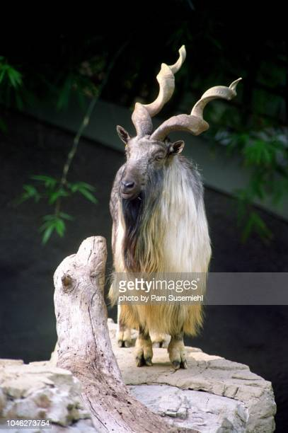full view of markhor goat on rock - markhor stock photos and pictures