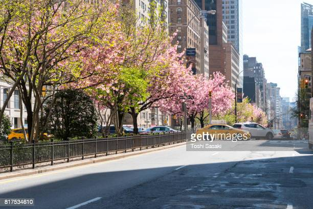 Full-blossomed rows of cherry blossom trees at Park Avenue in Manhattan New York City.