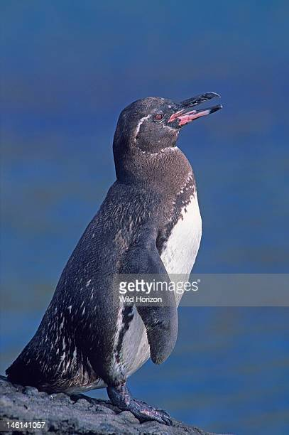 Full-body portrait of a Galapagos penguin on land, Spheniscus mendiculus, An Endangered endemic species that can live on the equator due to the...