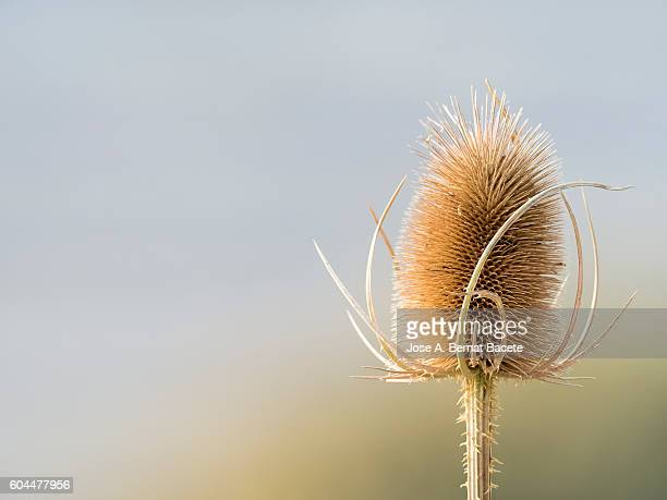 Fullers Teasel, Dipsacus fullonum, illuminated by the sun with a colorful background.