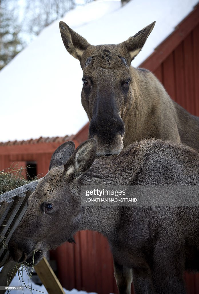A full-grown moose and its calf eat at a moose farm in Duved, Sweden on March 17, 2013.