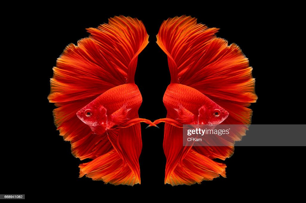 60 top siamese fighting fish pictures, photos and images getty imagesfullmoon oscar trophy betta fish