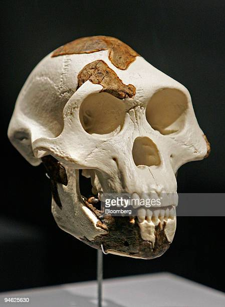 A fullscale replica of the skull belonging to Lucy the 32 millionyearold member of the Australopithecus afarensis is displayed at the Houston Museum...