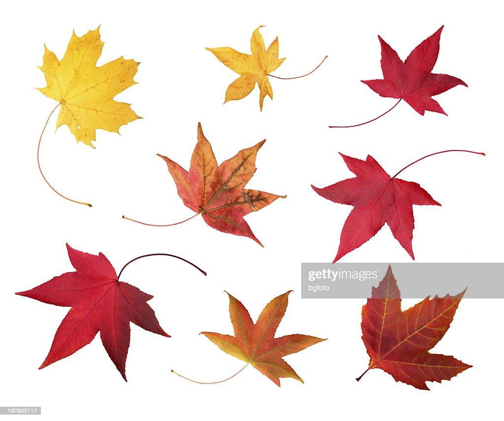 Full-size photo of maple autumn- 83Mpx. : Stock Photo