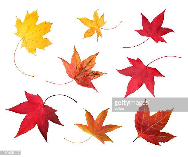 full-size photo of maple autumn- 83mpx. - falling stock pictures, royalty-free photos & images