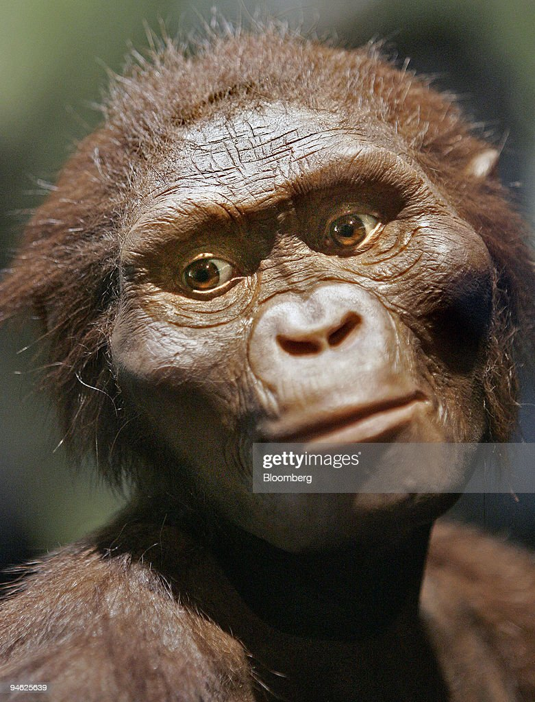 A full-sized model of Lucy, the 3.2 million-year-old member : News Photo