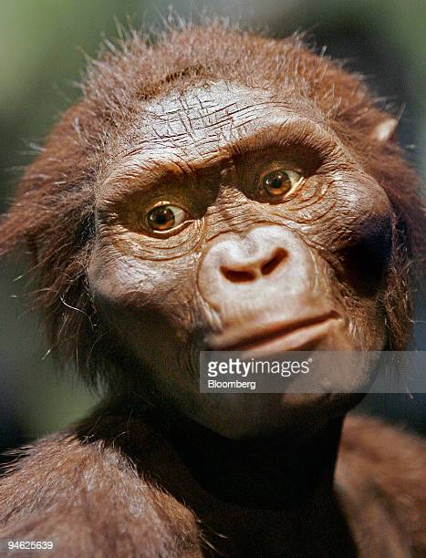 A fullsized model of Lucy the 32 millionyearold member of the Australopithecus afarensis is displayed at the Houston Museum of Natural Science in...