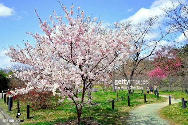 Fully bloomed Hosoizakura cherry blossom is seen at the Kyoto Botanical Garden on March 24 2016 in Kyoto Japan