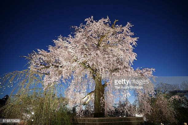 A fully bloomed weeping cherry blossom is seen at Maruyama Park on April 5 2016 in Kyoto Japan