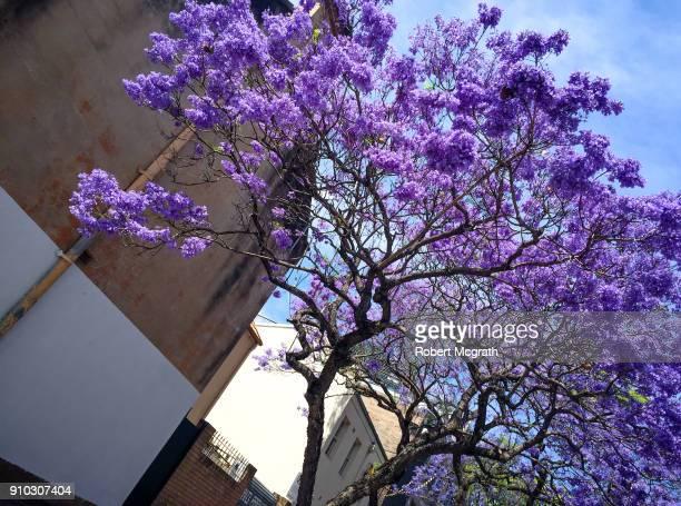 Fully flowering Jacaranda tree beside an end of row Victorian terrace .