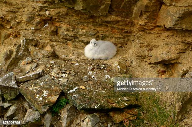 fulmar nest on the cliff - rookery stock pictures, royalty-free photos & images
