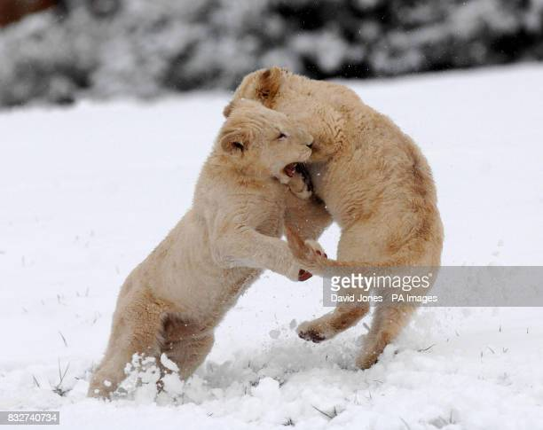 Fun in the snow for two of West Midlands Safari Park's four new White Lion cubs