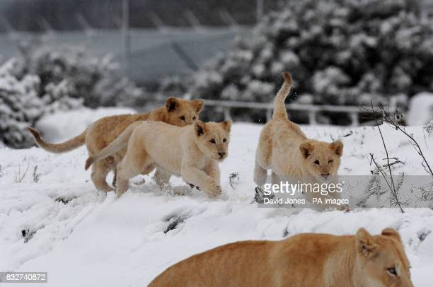 Fun in the snow for West Midlands Safari Park's four new White Lion cubs