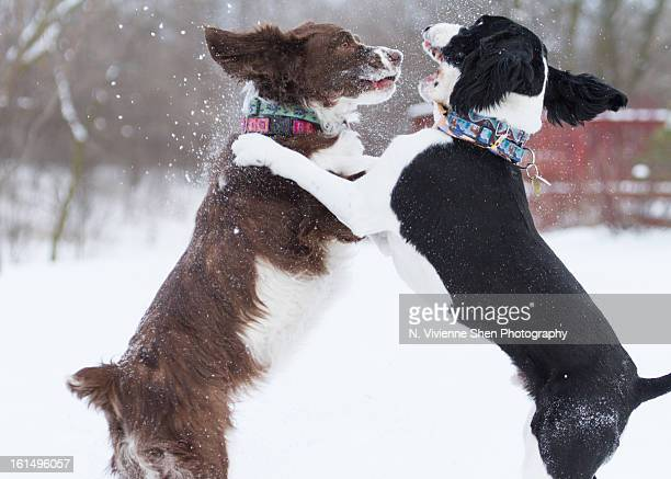 fun in the snow - springer spaniel stock photos and pictures