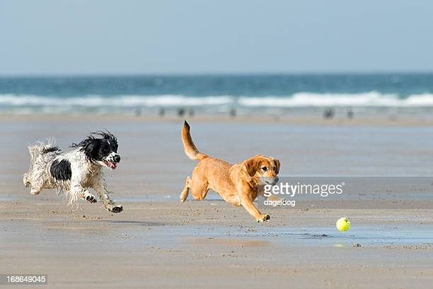 fun in the sun - spaniel stock photos and pictures