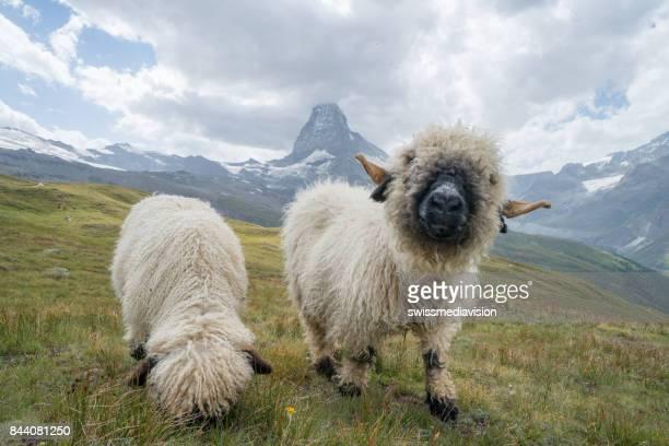 Spaß Schafe am Matterhorn, Schweiz