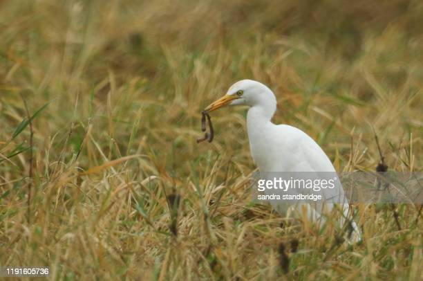 a fun shot of a rare cattle egret, bubulcus ibis, standing in a meadow with a long earthworm in its beak, which it has just caught and is about to eat. - long neck animals stock pictures, royalty-free photos & images