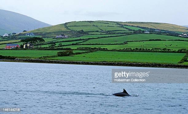 Fungi the Dolphin Dingle Bay Ireland
