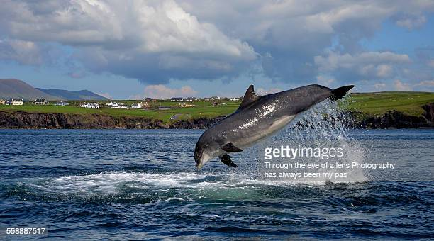 fungie - dolphin stock photos and pictures