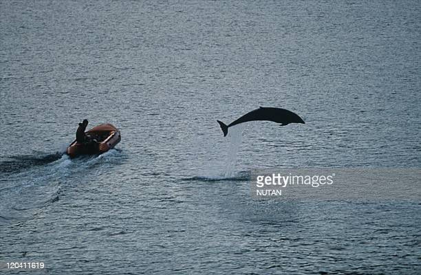 Fungie the dolphin in Ireland A wild dolphin adopted Dingle Bay in Kerry County nearly 20 years ago he draws in thousands of tourists who came swim...