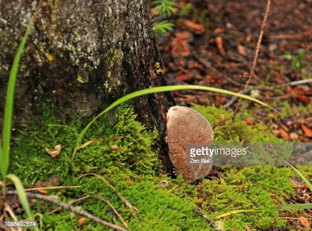 fungus growing on side of a tree surrounded by moss on forest floor - forest floor stock photos and pictures