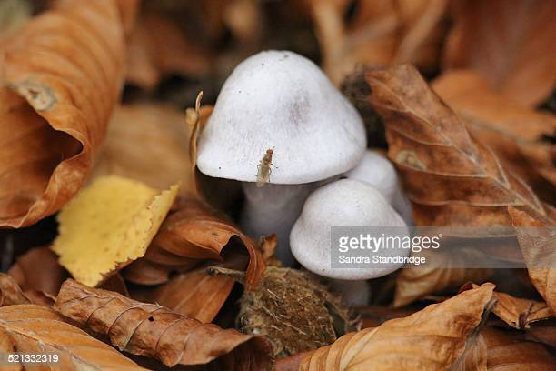 fungus growing through autumn leaves - hertford hertfordshire stock pictures, royalty-free photos & images