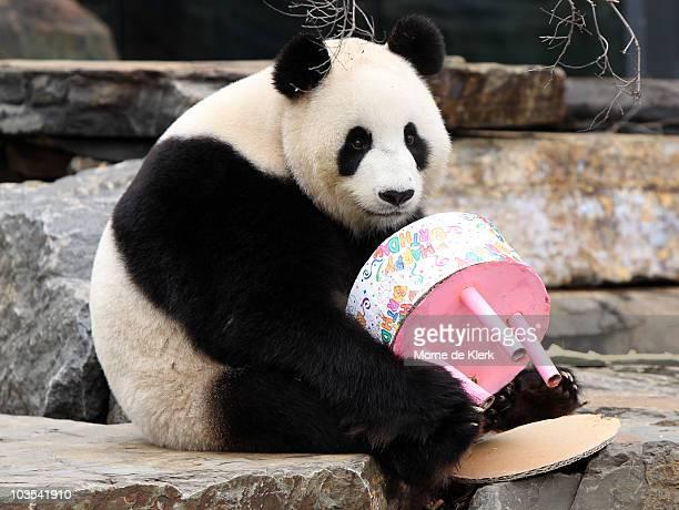 Funi the Panda enjoys eating her birthday cake to celebrate her first Australian birthday at Adelaide Zoo on August 23 2010 in Adelaide Australia...