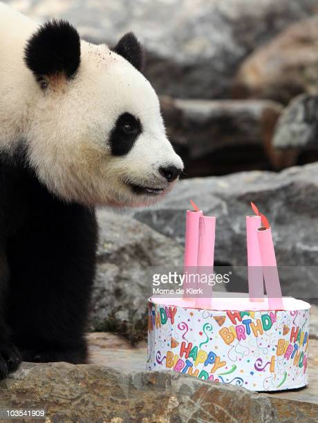 Funi the Panda inspects her birthday cake to celebrate her first Australian birthday at Adelaide Zoo on August 23 2010 in Adelaide Australia Funi...