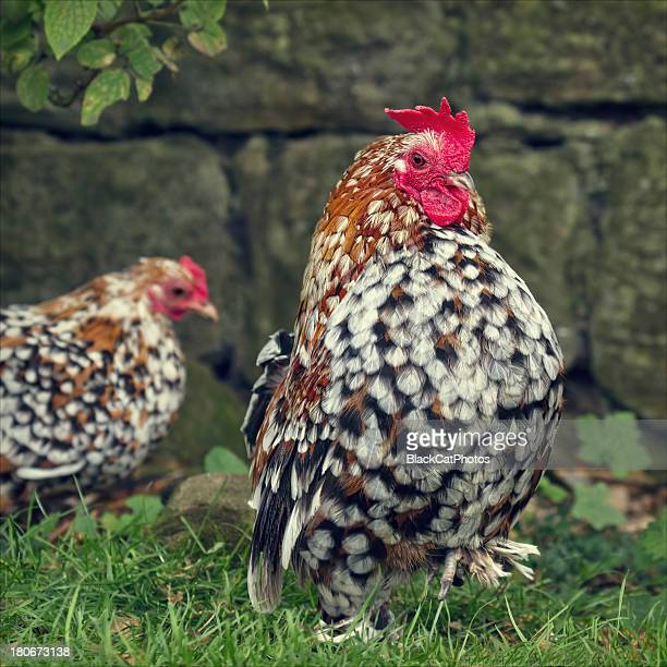 funky chicken - morpeth stock pictures, royalty-free photos & images