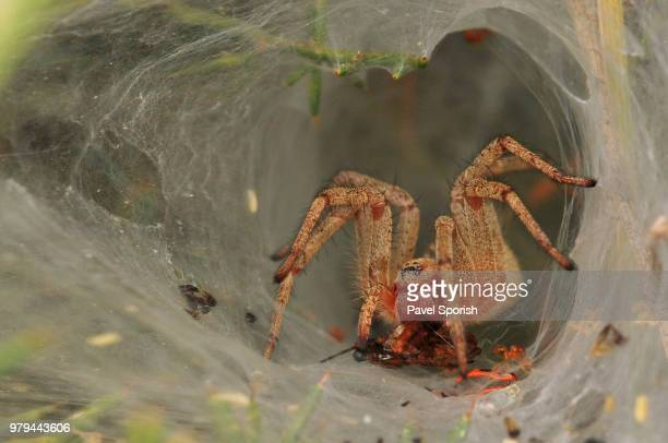 funnel snack (agelena orientalis) - coconut crab stock pictures, royalty-free photos & images