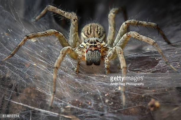 funnel spider macro - big eyes stock photos and pictures
